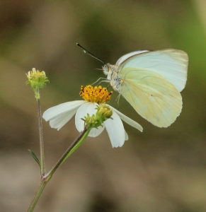 White Butterfly on Flower