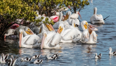 White Pelicans, Avocets and Spoonbills.......jpg